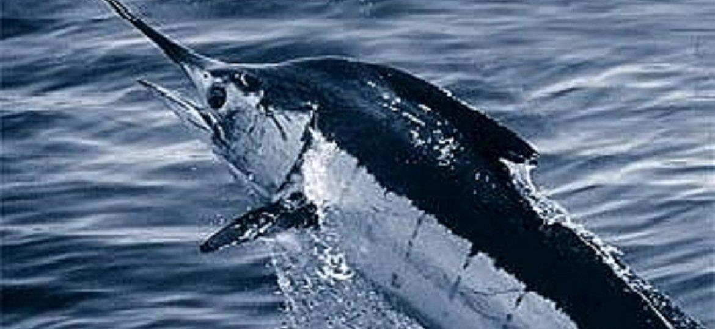 pez marlin