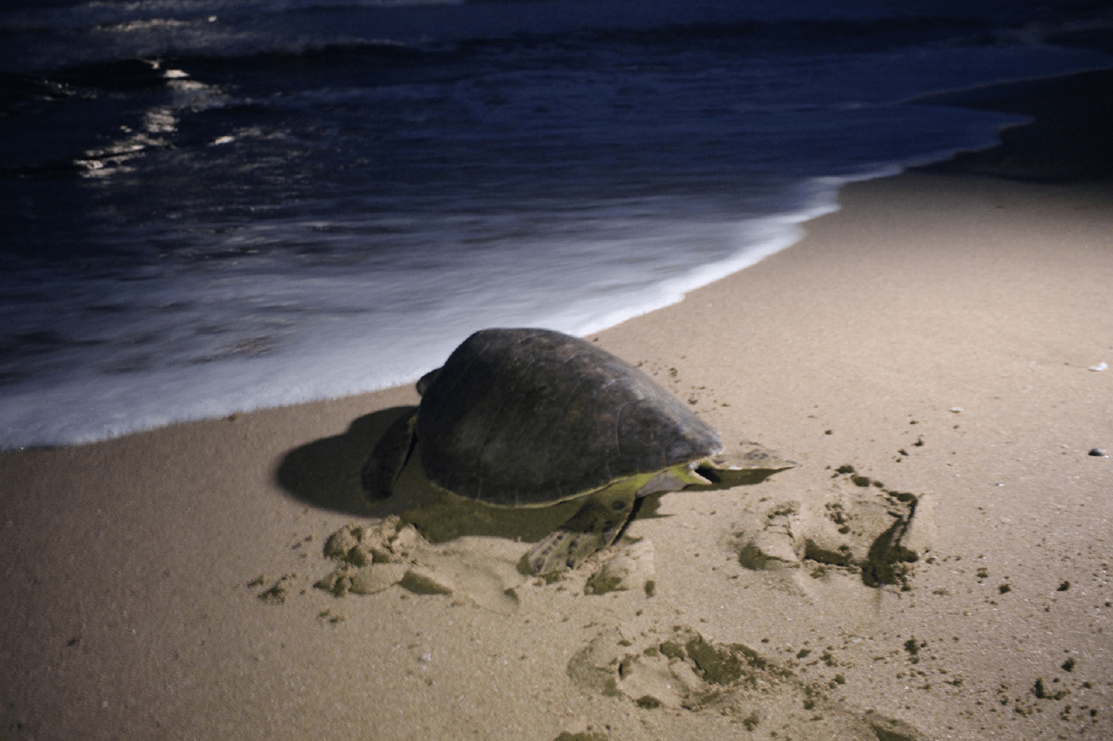 discover troncones saladita majahua mexico playa reservaciones hospedaje ixtapa guerrero travel near me booking hotel cheap hotel liberacion de tortugas turtle release tortuga prieta Brown turtle