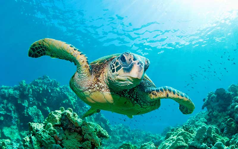 discover troncones saladita majahua mexico playa reservaciones hospedaje ixtapa guerrero travel near me booking hotel cheap hotel liberacion de tortugas turtle release Tortuga verde Green turtle
